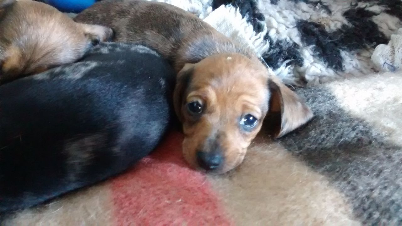 Calm/gleaming Miniature Dachshund Puppies for sale.