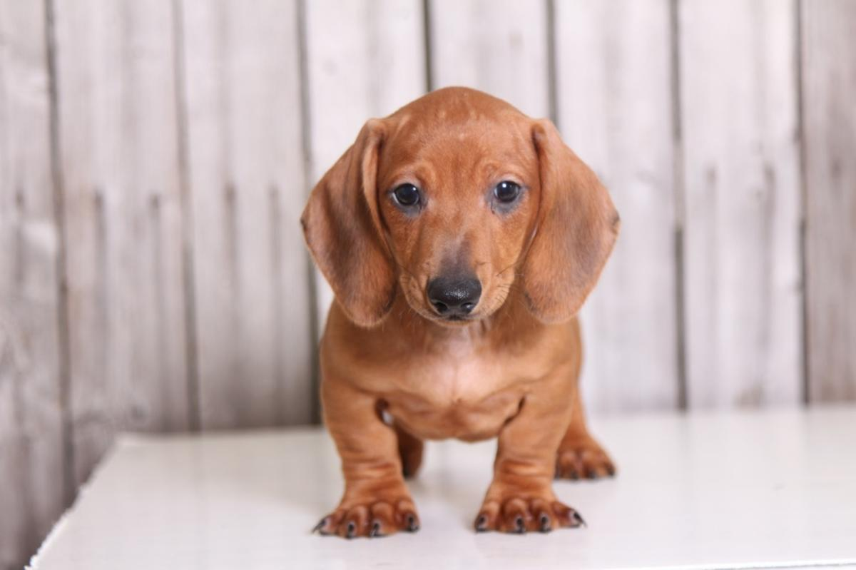 Decent Mini Dachshund Puppies for sale.