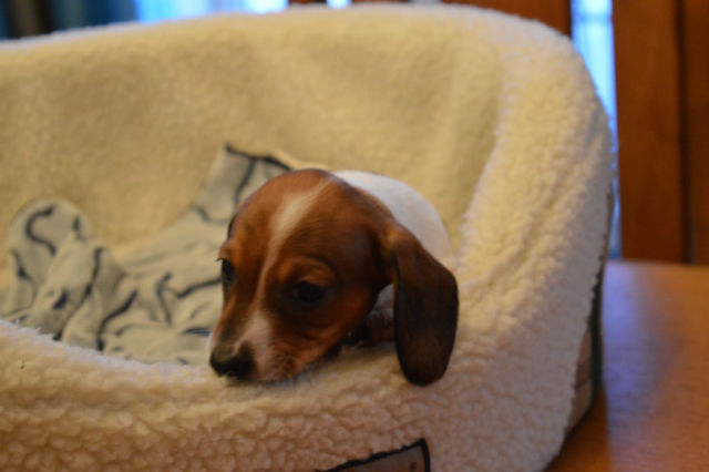 Courageous Miniature Dachshund Puppies for sale.