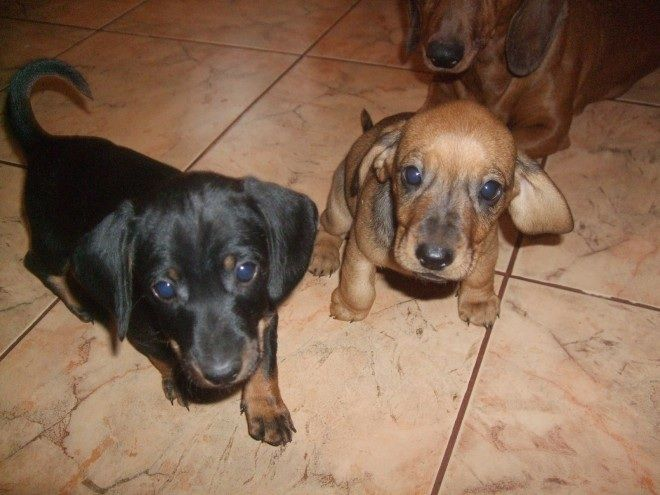 Encouraging Miniature Dachshund Puppies for sale.