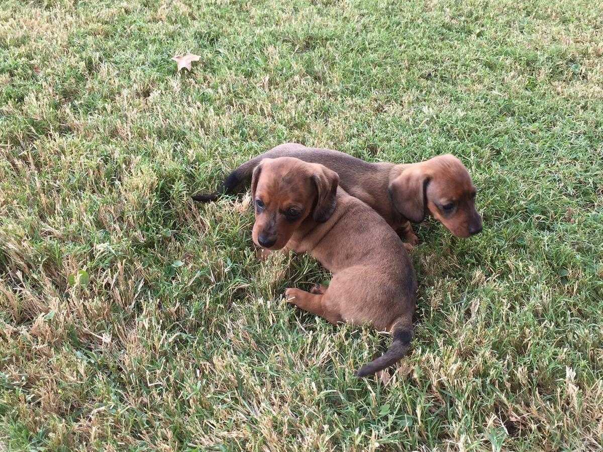 Clever Miniature Dachshund Puppies for sale.