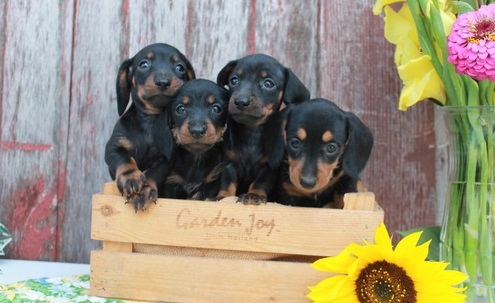 Admirable Miniature Dachsund Puppies for sale.