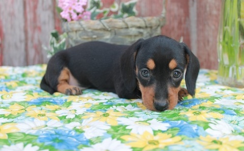 Buoyant Miniature Dachshund Puppies for sale.