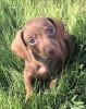 Amazing/consummate Miniature Dachshund Puppies for sale.